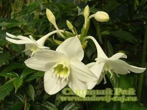 эухарис амазонская лилия