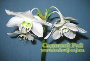 эухарис цветок