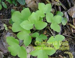 печеночница листья
