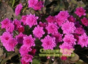 печеночница розовая махровая