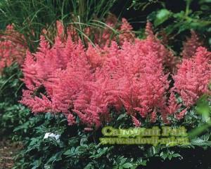 астильба цветок
