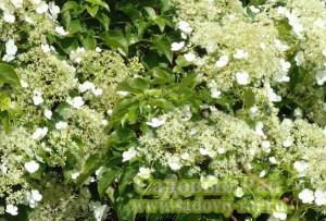гортензия черешковая цветок