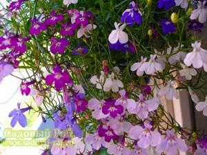 цветок лобелии