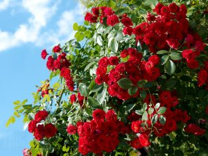 Фотография кустовой розы
