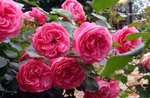 кустовая роза фото ухода