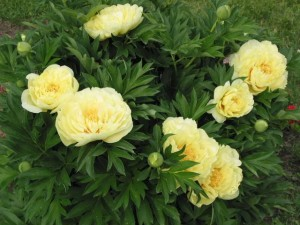 Травянистые и древовидные цветы пионы насчитывают большое количество сортов.