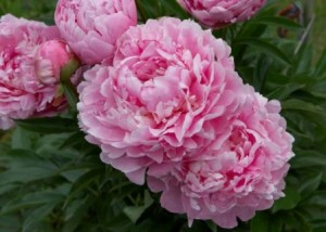 При посадке цветов пионов не нужно утрамбовывать почву.