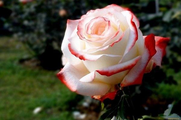 Красно-белая роза.