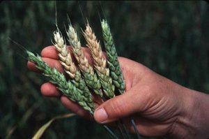 Фузариоз колоса пшеницы