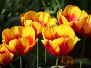 Тюльпаны Andre Citroen